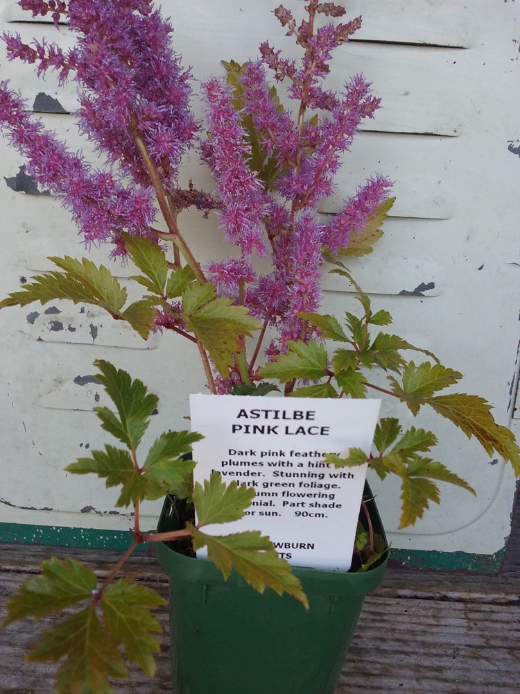 Online plants willowburn plants astilbe pink lace dark pink feathery plumes with a hint of lavender stunning with dark green foliage autumn flowering perennial part shade or sun 90cm mightylinksfo